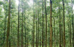 Mô hình hiệu quả trồng rừng Keo lâm nghiệp ở Bắc Kạn